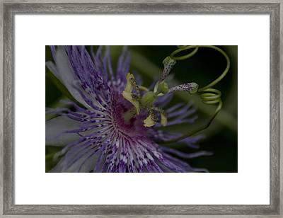 Passion Flower's Tendril Framed Print