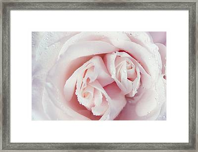 Passion For Flowers. One Rose Two Hearts Framed Print