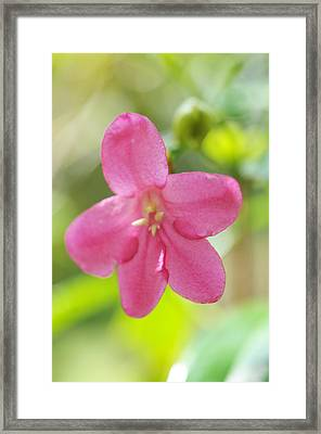 Passion For Flowers. Sweetie Framed Print by Jenny Rainbow