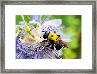 Passion Fruit Flower And Bee Framed Print