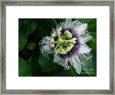 Passion Fruit Flower Framed Print by Mary Deal