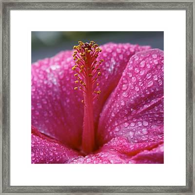 Passionate Pink Hibiscus Framed Print by Karon Melillo DeVega