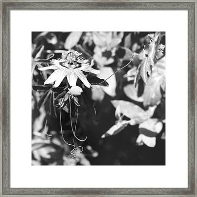 Passionflower And Tendrils Framed Print by Paul Cowan