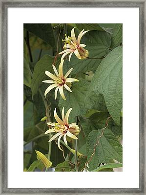 Passionflower Framed Print by Archie Young