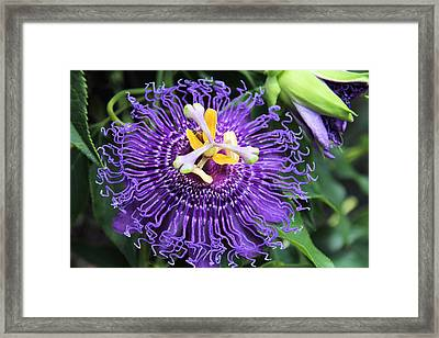 Passionflower Purple Framed Print