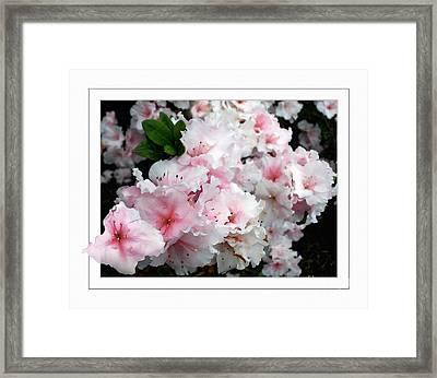 Pastel Pink Azaleas Framed Print