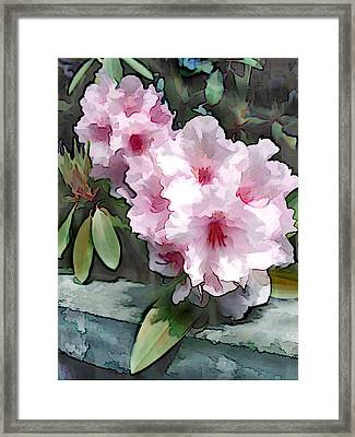 Pastel Pink Rhodendron At Garden Wall Framed Print by Elaine Plesser