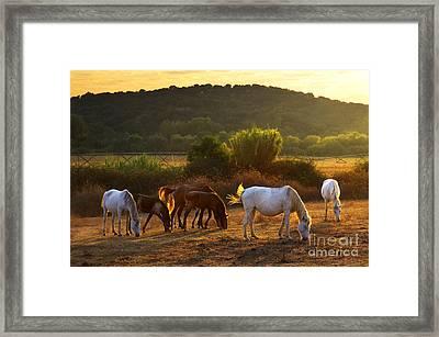 Pasturing Horses Framed Print