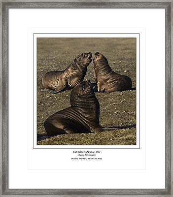 Patagonian Sea Lion Pups Framed Print