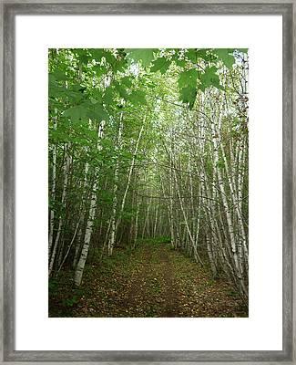 Path Of Birches Framed Print by Pamela Turner