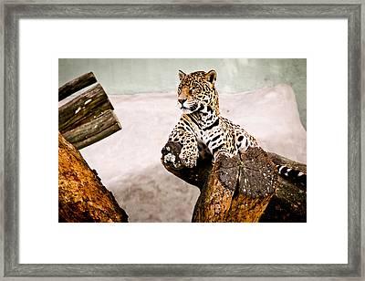 Patient Jaguar Framed Print by Ezequiel Rodriguez Baudo