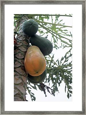 Pawpaw Fruit Framed Print by Veronique Leplat