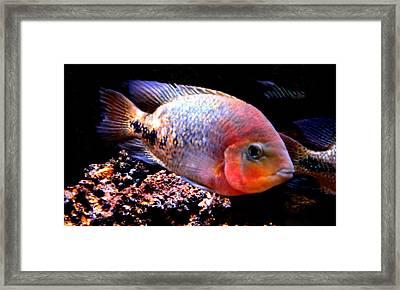 Peacefull Fish Swim  Around  In Denmark Framed Print by Colette V Hera  Guggenheim