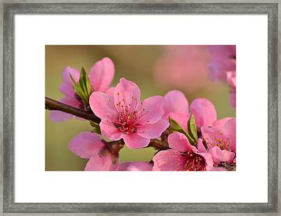 Peach Beautiful Framed Print