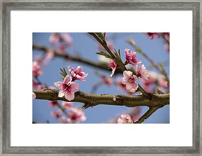 Peach Blossom (prunus Persica) Framed Print