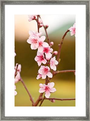 Peach Blossoms Framed Print by Michelle Wrighton
