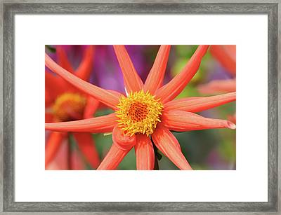 Peach Dahlia Framed Print by Darren Moston