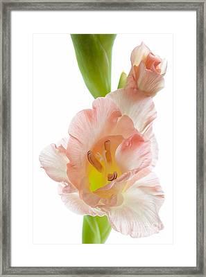 Peach Flushed Gladiolus Framed Print by Ann Garrett