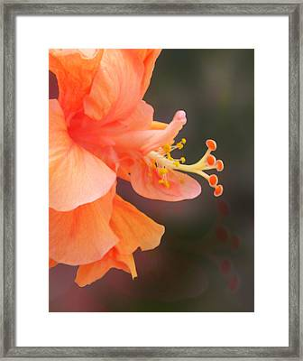 Peach Glow Framed Print by Ginny Schmidt