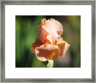 Peach Iris Flower II Framed Print