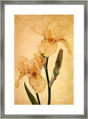 Peach Iris Germanica Framed Print