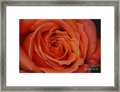 Peach Rose Close-up Framed Print by Mark McReynolds