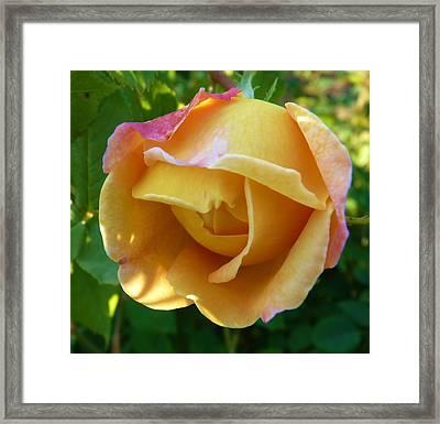 Peach Rose Framed Print by Jeanette Oberholtzer