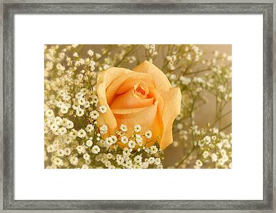 Peach Rose With Baby's Breath Framed Print by Tracie Kaska