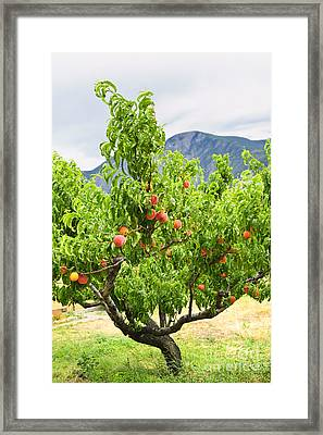 Peaches On Tree Framed Print
