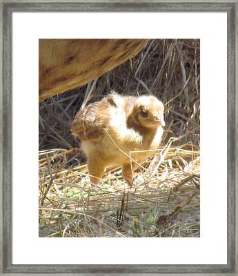 Framed Print featuring the photograph Peachick by Bonnie Muir