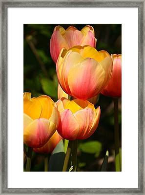 Peachy Tulips Framed Print by Byron Varvarigos