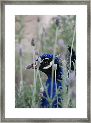 Framed Print featuring the photograph Peacock A Boo by Amy Gallagher
