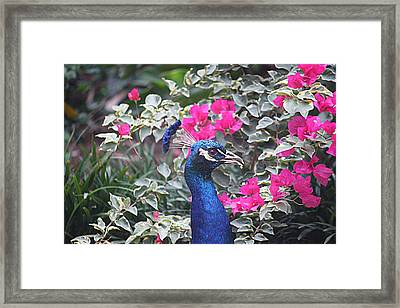 Framed Print featuring the photograph Peacock And Bouganvillas by Donna Smith