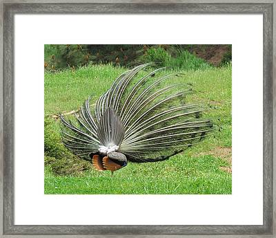 Framed Print featuring the photograph Peacock Backside by Bonnie Muir