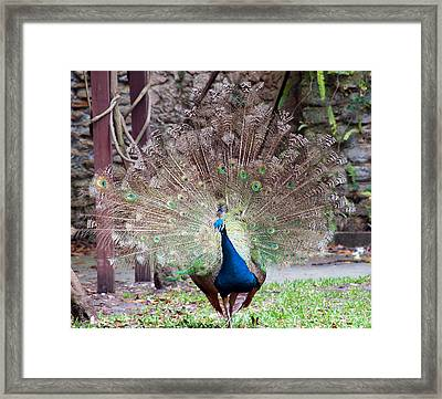 Peacock Display Framed Print by Kenneth Albin
