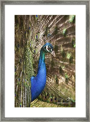Peacock Display Framed Print