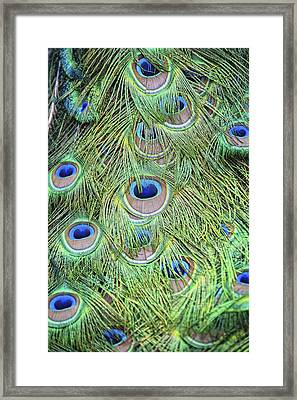 Peacock Feathers Framed Print by Jen Morrison