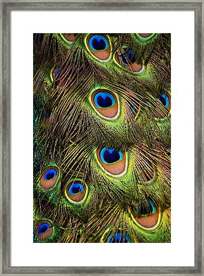 Peacock Feathers Framed Print by Navid Baraty / Getty Images