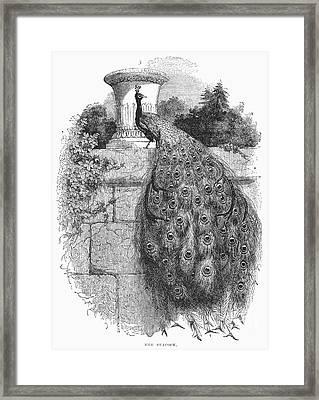 Peacock Framed Print by Granger
