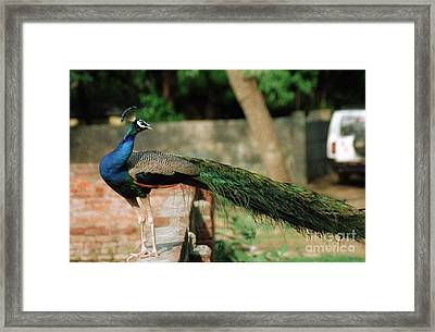 Peacock Framed Print by Igor Fedonyuk