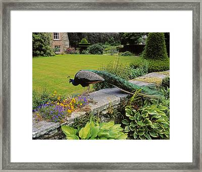 Peacock In Formal Garden, Kilmokea, Co Framed Print by The Irish Image Collection