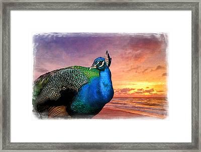 Peacock In Paradise Framed Print by Debra and Dave Vanderlaan