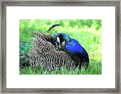 Framed Print featuring the photograph Peacock by Kathy Gibbons