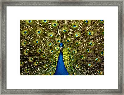 Peacock Pavo Cristatus Displaying Tail Framed Print by Paul D Stewart