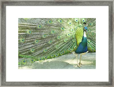Peacock Framed Print by Pit Hermann