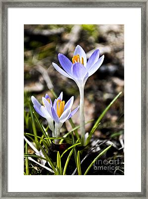 Peaking Spring Framed Print