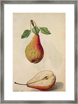 Pear   Pyrus Communis Framed Print by J le Moyne de Morgues