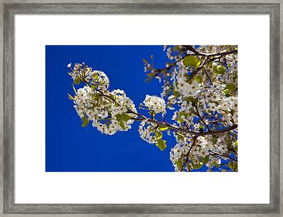 Pear Spring Framed Print