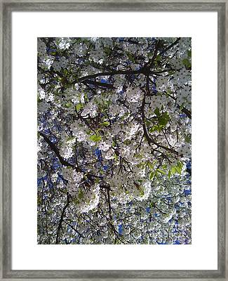 Pear Tree Blossoms Framed Print