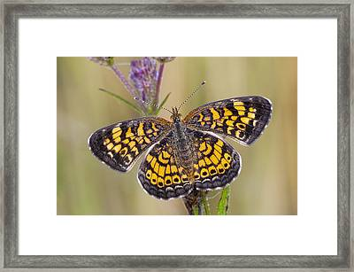 Pearl Crescent Butterfly On Wildflowers Framed Print by Bonnie Barry